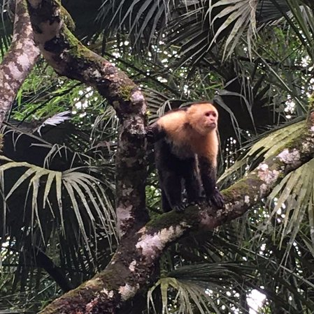 Quepos, Costa Rica: Capuchins at the Ranch House
