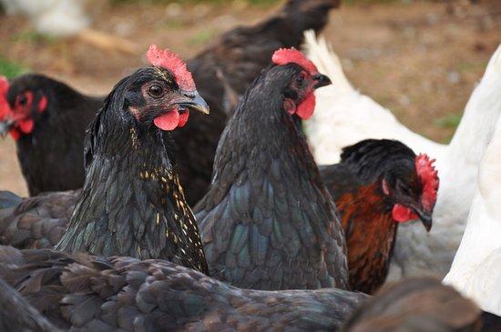 Stanley Bridge, Canadá: Chickens