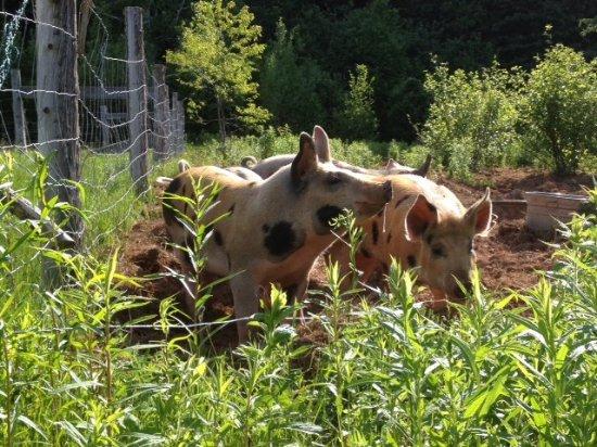 Stanley Bridge, Καναδάς: Pigs