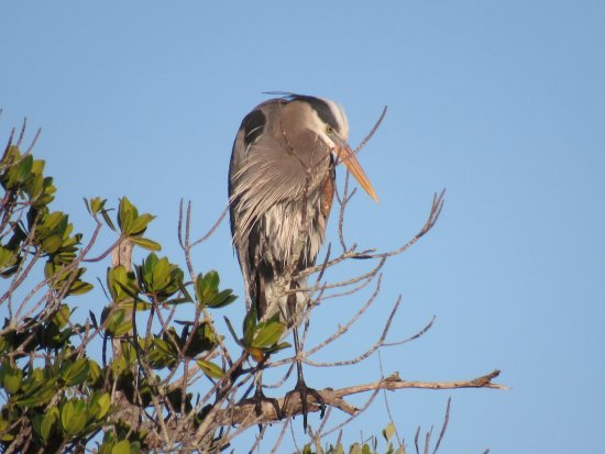 Fort Pierce, FL: How can a female blue heron resist this guy? All decked out in full breeding plumage.