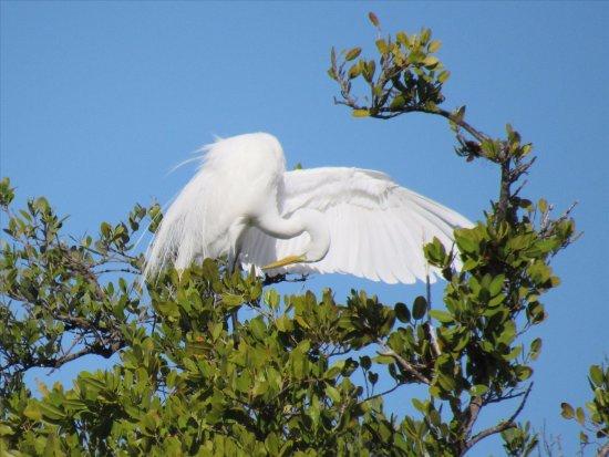 Fort Pierce, FL: Snow white egret.