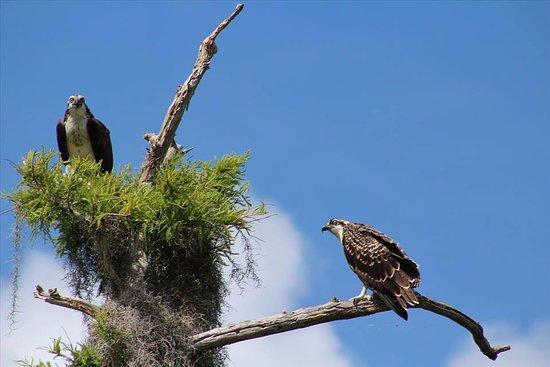 Fort Pierce, FL: Osprey nesting season.