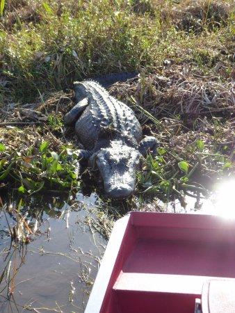 Marrero, LA: Sun basking alligator - Barataria Swampland
