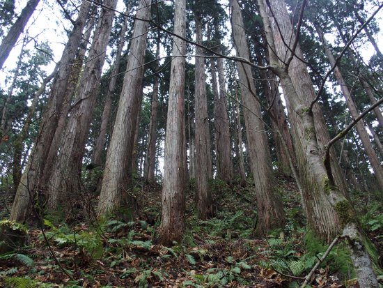 Noshiro, Japan: 樹齢200年近い天然秋田杉が立ち並んでいます