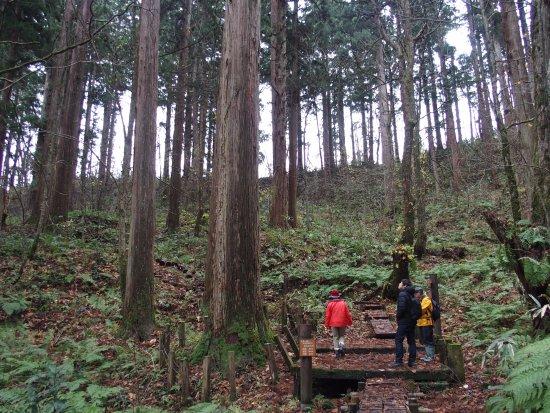 能代市, 秋田県, 日本一高い杉「きみまち杉」
