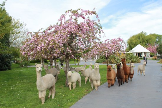 Kaiapoi, New Zealand: Alpacas grazing in front of the cottages