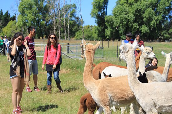Kaiapoi, New Zealand: Farm tour
