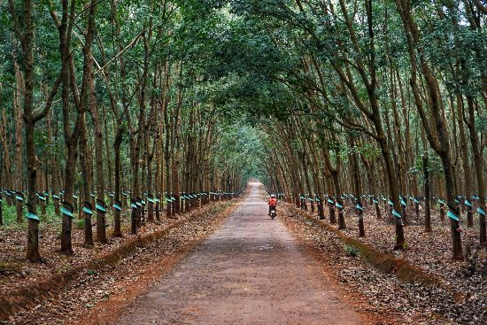 Rubber trees - Picture of Dalat Easy Rider Club, Da Lat