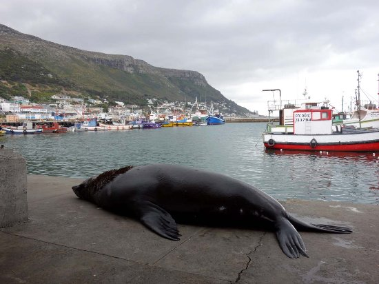Kalk Bay, Νότια Αφρική: eating the fish remains