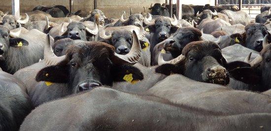 Pastorano, Italy: Visita alle Bufale