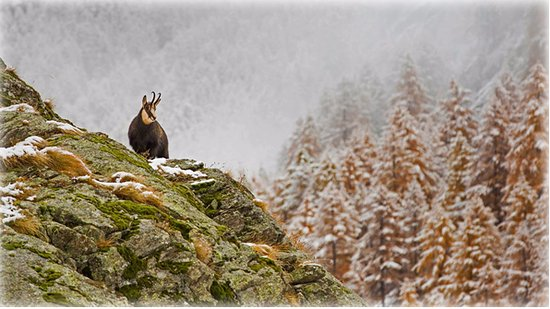 Piemonte, Italië: Alpine chamois in Gran Paradiso National Park, Italy