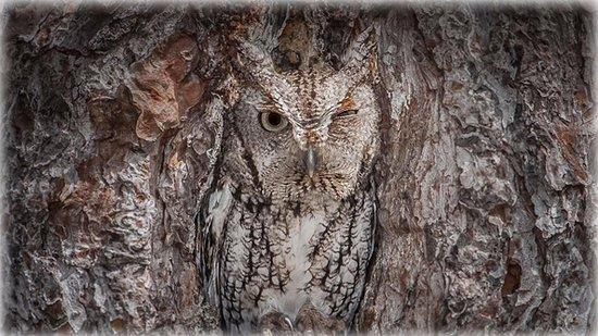 Folkston, GA: An eastern screech owl in the Okefenokee National Wildlife Refuge, Georgia