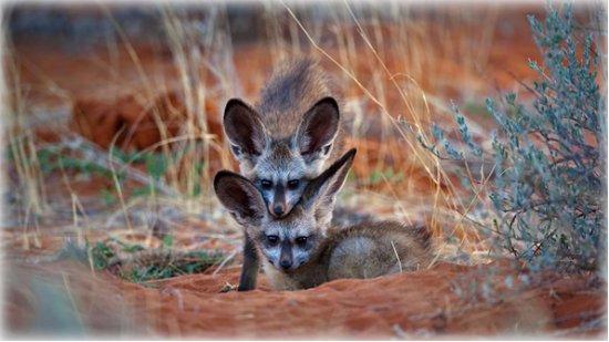Upington, South Africa: Bat-eared fox kits in Kgalagadi Transfrontier Park, Botswana