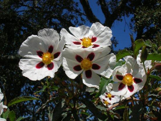 La jara es uno de los arbustos más comunes de Cabañeros - Picture of ...