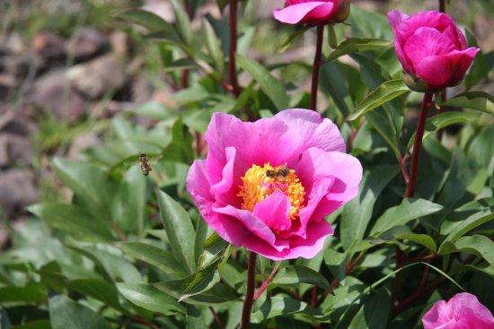La peonía es una planta autóctona de Cabañeros con flores rosas grandes y  muy llamativas: fotografía de Parque Nacional de Cabañeros, Ciudad Real -  Tripadvisor