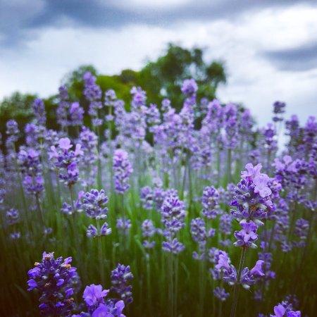 Warratina Lavender Farm: photo0.jpg
