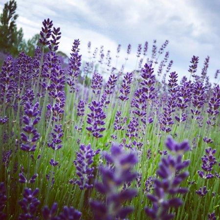 Warratina Lavender Farm: photo1.jpg