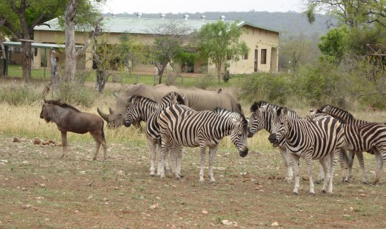 Gravelotte, Sydafrika: White rhino, wildebeest and zebras on Pidwa reserve