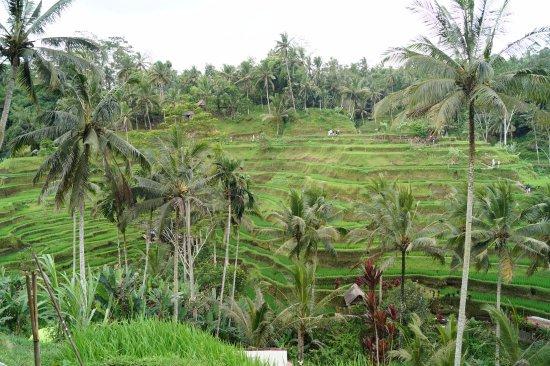 Pekutatan, Indonesië: ausflug zu reisfeldern