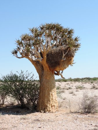 Augrabies Falls National Park, Sudáfrica: Quiver tree with sociable weavers' nest