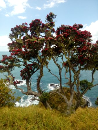 Russell, New Zealand: The pohutukawa tree at the summit - flowering red in December.