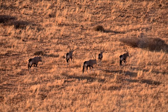 Solitaire, Namibia: Spotting some onyx antilopes  early morning