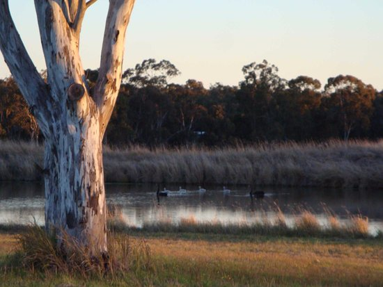 Lovedale, Australia: Swans swimming in the dam