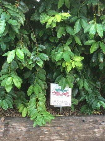 Waialua, HI: さまぁーずの樹