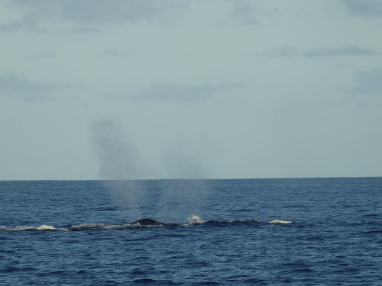 Palmerston Island, Cookinseln: Excellent Whale Spotting Opportunity.  Mother and Calf.