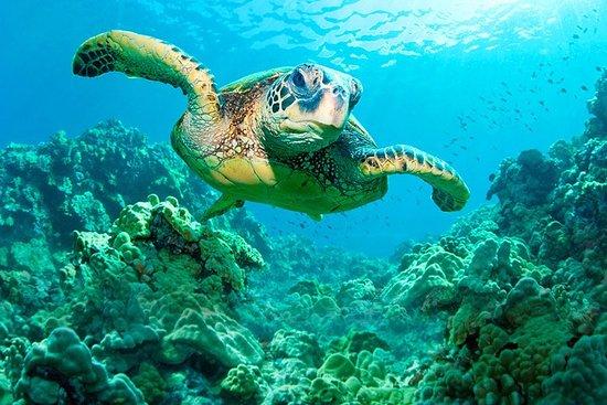 Several turtles today foto di hawaii turtle tours for Lucernari di hawaii llc