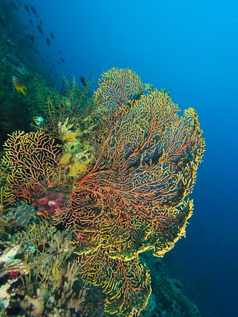 ‪‪Wakatobi‬, إندونيسيا: You can find many colors and sizes of sea fans on almost all the sites.‬