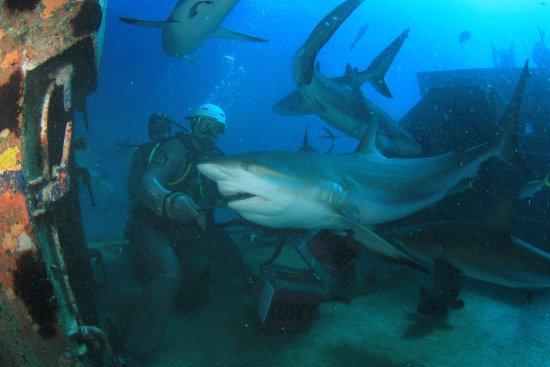 Stuart Cove's Dive Bahamas: Shark feeding dive