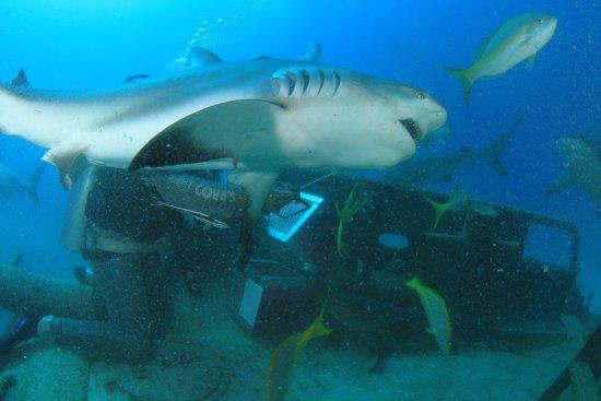 Isla Nueva Providencia: shark feed