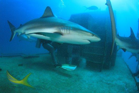 Isla Nueva Providencia: sharks on a shipwreck