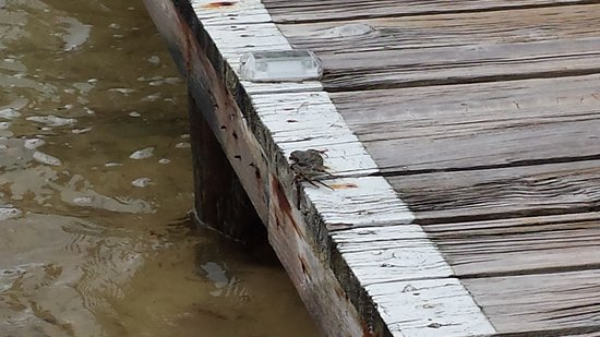 CoCo View Resort: Ghost crabs come out on the board walk