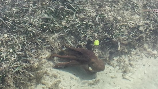 CoCo View Resort: Octopus right off of the boardwalk