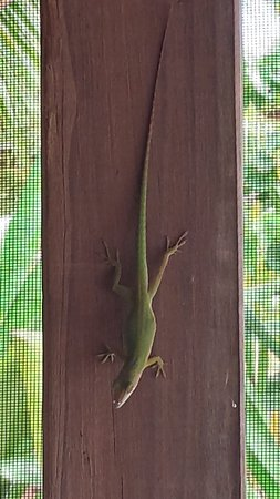CoCo View Resort: Lots of cool little lizards