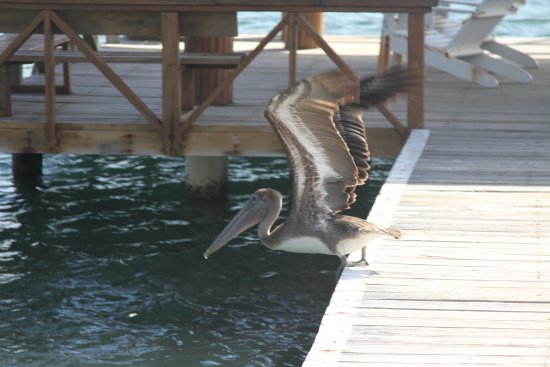 CoCo View Resort: Pelican on the dock