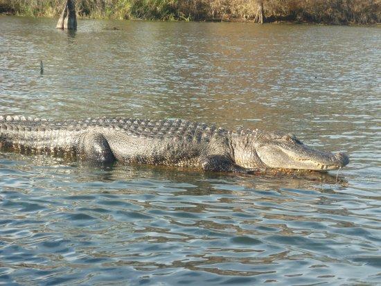 Breaux Bridge, LA: Alligator sur le lake Martin