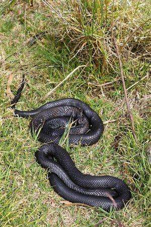 Bicheno, Australia: Tiger snakes