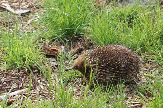 Bicheno, Australia: Echidna in its enclosure