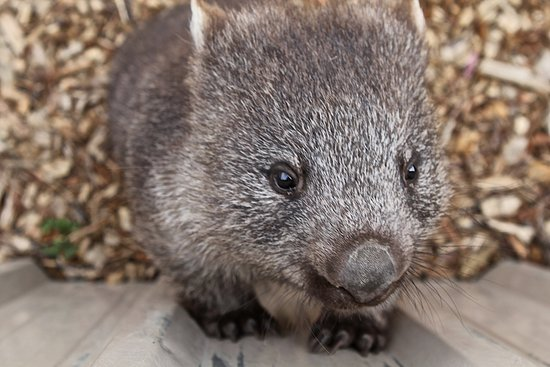 Bicheno, Australie : Very approachable baby wombat