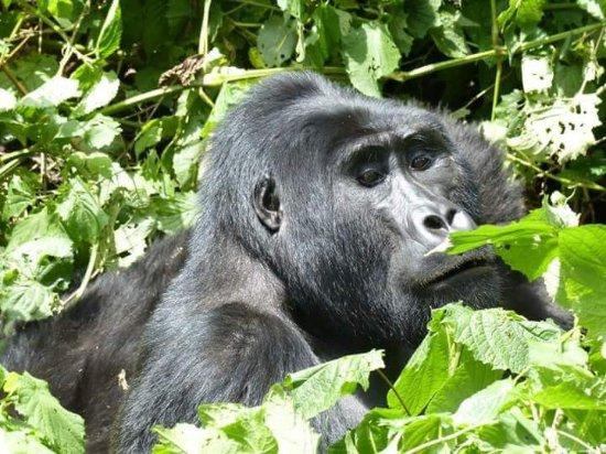 Bwindi Impenetrable National Park, Uganda: Espalda plateada