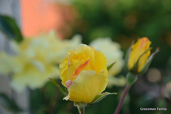 Decin, Tsjekkia: Rose Garden
