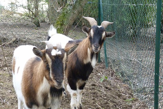 Ramonville Saint-Agne, France: Praline et Filou, les chèvres naines