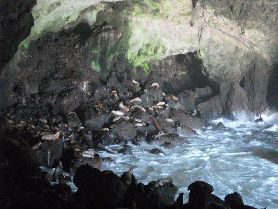 Sea Lion Caves: Sea Lions