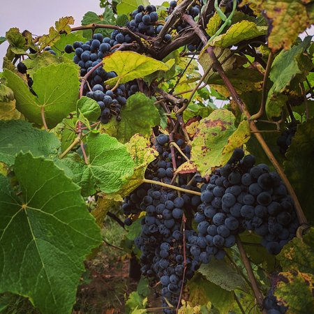 Twin Rivers Winery and Gourmet Shoppe: Our vineyard isn't next to the winery, but we would love to let you help harvest.