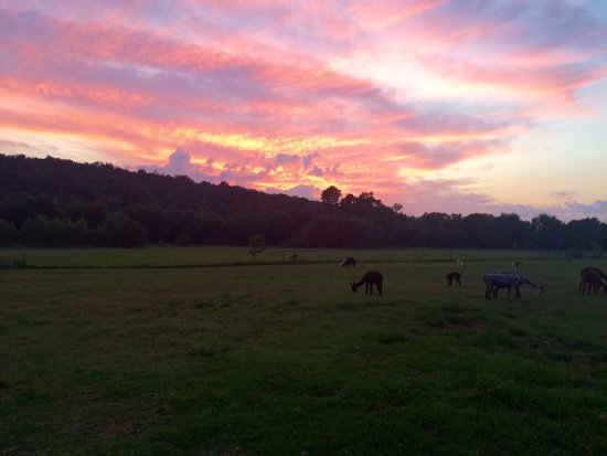 Prairie Grove, Αρκάνσας: It doesn't get much better than watching a sunset in the alpaca field!