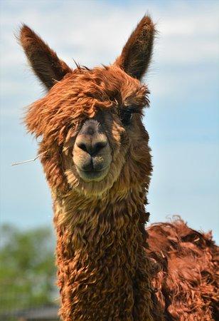Prairie Grove, อาร์คันซอ: Tinker Bell the Suri Alpaca