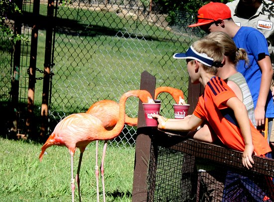 Gainesville, TX: Daily Flamingo Feeding - $15 per person